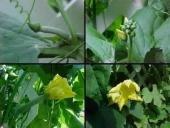 SPONGE GOURD LUFFA loofa CYLINDRICA 10 seeds