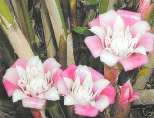 MALAY ROSE ETLINGERA VENUSTA  porcelaine ginger 10 seeds