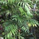 BULK PARLOR PALM CHAMAEDOREA ELEGANS house plant 100 seeds