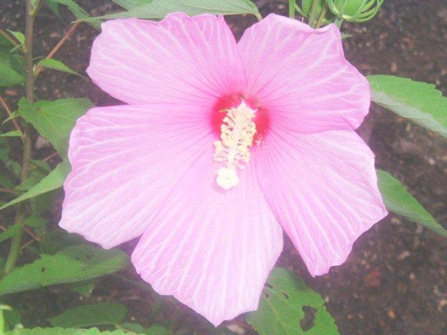 HARDY SWAMP HIBISCUS  MOSCHEUTOS  bright pink 20 seeds