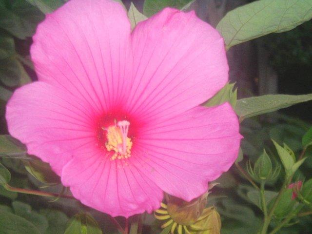HARDY SWAMP HIBISCUS  MOSCHEUTOS dark  pink 20 seeds