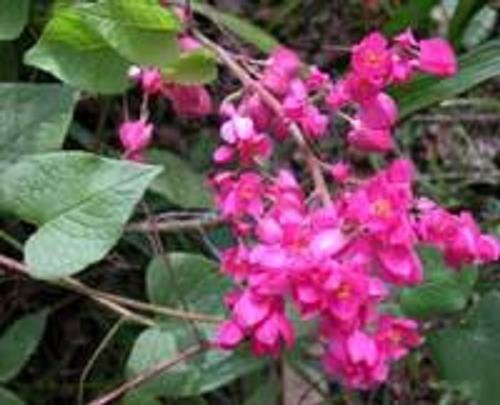 BULK CHINESE LOVE VINE ANTIGONON LEPTOPUS 100 seeds