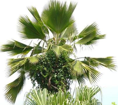 BULK FIJI FAN PALM -  PRITCHARDIA PACIFICA 100 seeds