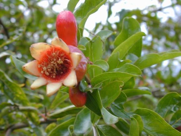 DWARF POMEGRANATE Punica granatum 10 seeds