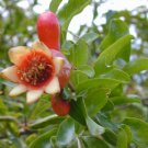 DWARF POMEGRANATE Punica granatum 10 seeds