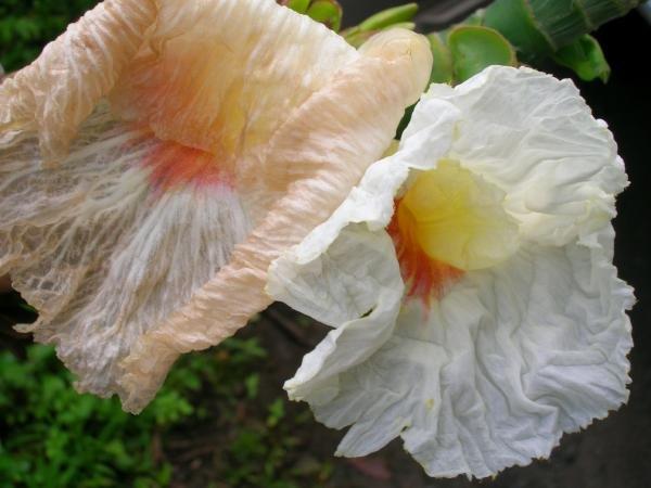 CREPE GINGER Costus speciosus attractive shrub 10 seeds