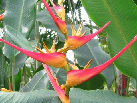 Heliconia latispatha, golden lobster claw 10 seeds