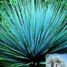 NOLINA NELSONII, NELSONS'S BLUE BEAR GRASS 10 seeds