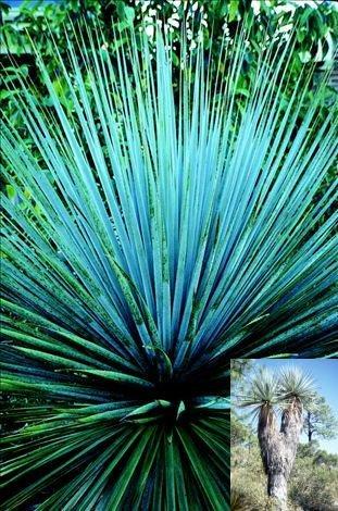 BULK NOLINA NELSONII, NELSONS'S BLUE BEAR GRASS 100 seeds