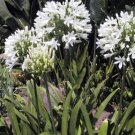 BULK AGAPANTHUS GETTY WHITE white African Lily 100 seeds