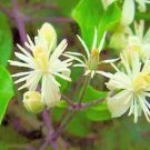 BULK White CLEMATIS VITALBA evergreen fully hardy 200 seeds