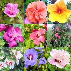 BULK HIBISCUS SYRIACUS - ROSE OF SHARON variety mix 100 seeds
