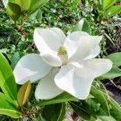 Southern Magnolia, Magnolia grandiflora 10 stratified seeds