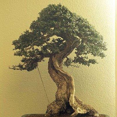 BULK EUROPEAN OLIVE TREE - OLEA EUROPAEA perfect as bonsai 100 seeds