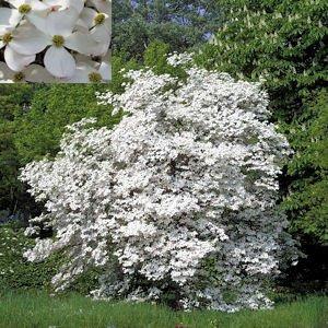 BULK FLOWERING DOGWOOD CORNUS FLORIDA 100 seeds