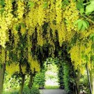 BULK GOLDEN CHAIN TREE - LABURNUM ANAGYROIDES 100 seeds