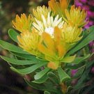 AULAX UMBELLATA Broad leaf featherbush protea 5 seeds