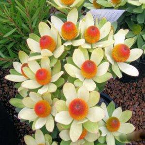LEUCADENDRON GANGODERI Broad leaf conebush 5 seeds