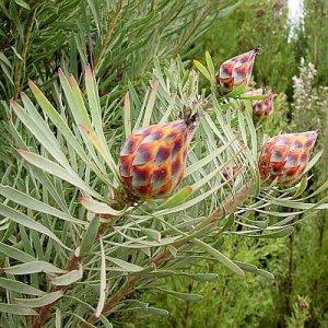 LEUCADENDRON RUBRUM spinning top conebush 5 seeds