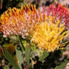 LEUCOSPERMUM MUIRII Pincushion Protea 5 seeds