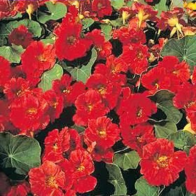 BULK NASTURTIUM CHERRY ROSE edible leaves & flowers 100 seeds