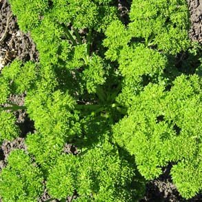 PARSLEY Triple moss curled 100 seeds