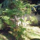 CHAMAEDOREA MICROSPADIX cold hardy BAMBOO PALM 10 seeds