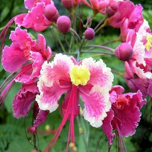 Pink BIRD OF PARADISE CAESALPINIA PULCHERRIMA 10 seeds