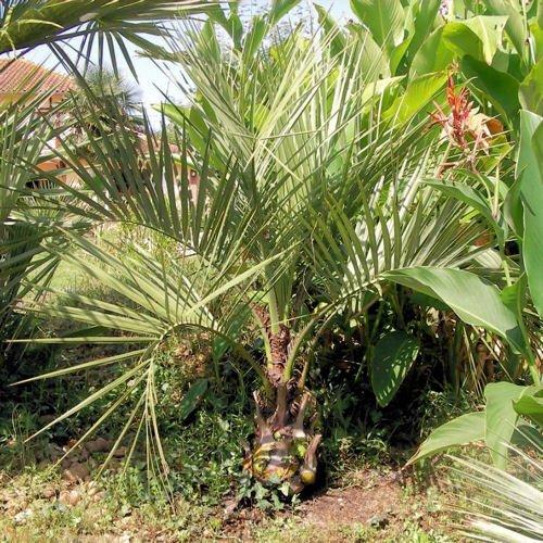 BUTIA CAPITATA PINDO PALM cold hardy 10 seeds