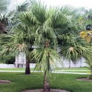 LIVISTONA CHINENSIS CHINESE FAN PALM hardy 10 seeds