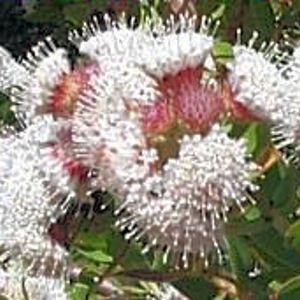 LEUCOSPERMUM BOLUSII Gordon's bay pincushion 5 seeds