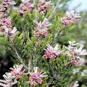 PARANOMUS BRACTEOLARIS proteaceae 5 seeds