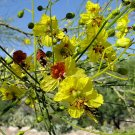 JERUSALEM THORN Parkinsonia aculeata 10 seeds