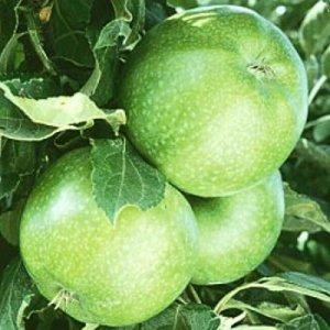 Granny Smith apple tree - self pollinating 10 seeds