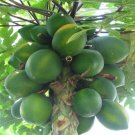 BULK - MELON TREE - CARICA PAPAYA 1000 seeds