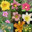 Daylily mix - many colors 20 seeds