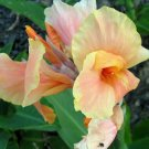 Canna seed mix, many colors and differernt sizes 20 seeds