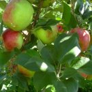 HONEYCRISP apple tree sweet & tart 10 seeds