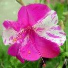FOUR O' CLOCK M..JALAPA mix mirabilis  50 seeds