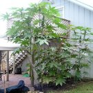 BULK - CASTOR BEAN green ZANZIBAR MOLE REPELLENT 100 seeds