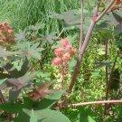 CASTOR BEAN pink Carmencita MOLE REPELLENT 10 seeds