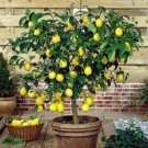 CITRUS LIMON LEMON TREE 10 seeds