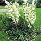 BULK YUCCA FILAMENTOSA ADAMS NEEDLE zone 5 hardy 1000 seeds