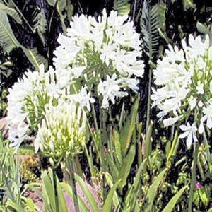 BULK AGAPANTHUS GETTY WHITE white African Lily 500 seeds