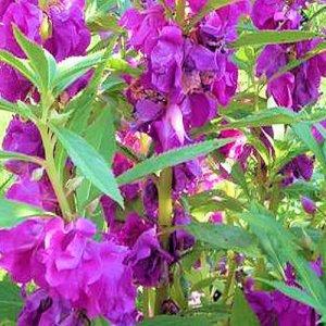 BULK Balsam Impatiens Touch-me-not mixed colors 500+ seeds