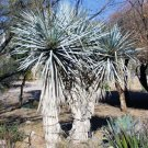BULK BLUE YUCCA RIGIDA  showy specimen winter hardy 500 seeds