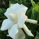 BULK CAPE JASMINE GARDENIA JASMINOIDES fragrant 100 seeds