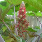 CASTOR BEAN red,green and pink MOLE REPELLENT 50 seeds