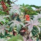 BULK - CASTOR BEAN red SANGUINEA MOLE REPELLENT 1000 seeds