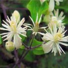 BULK White CLEMATIS VITALBA evergreen fully hardy 100 seeds